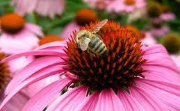echinacea and honeybee